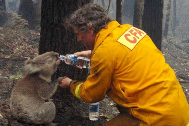 Koala given a much needed drink of water after a bushfire (Photo: ABC)